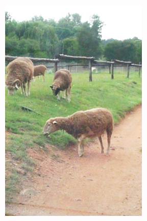 Sheep web